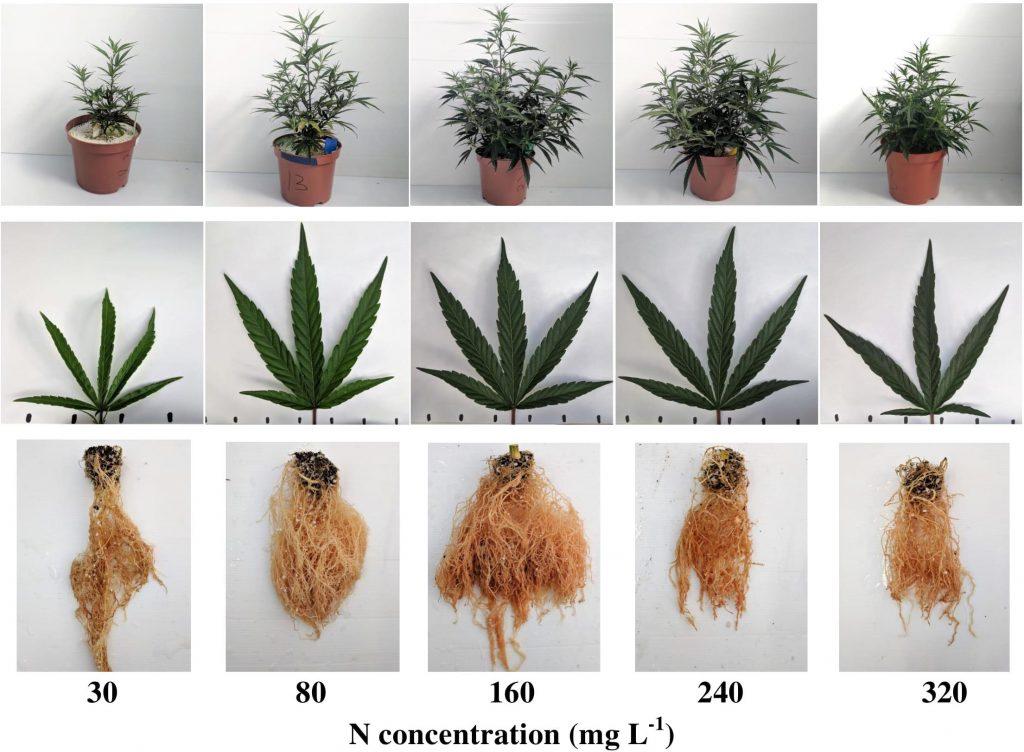 order weed online indica vs sativ